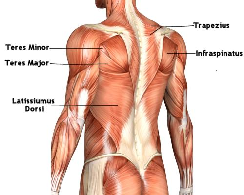 how to build back muscle, Human Body